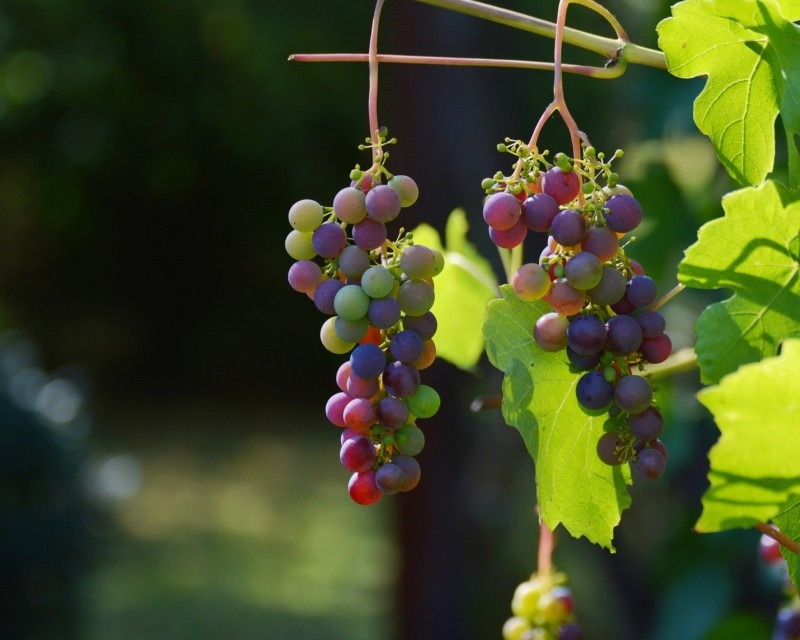 vid para vino